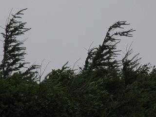 強風でなびく木