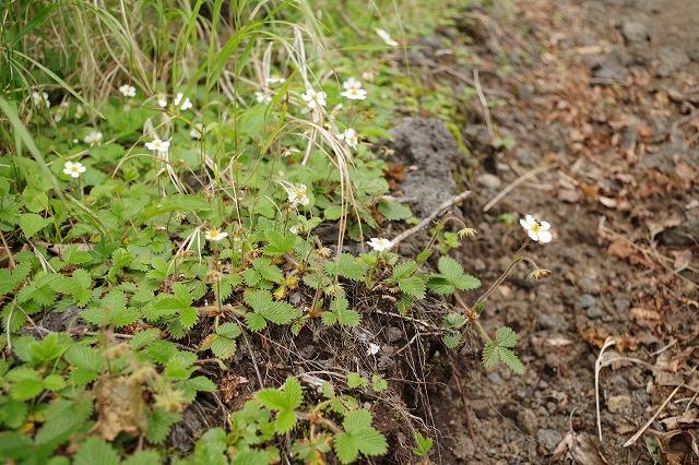 シロバナヘビイチゴ、須走ルート新六合目から本六合目の登山道